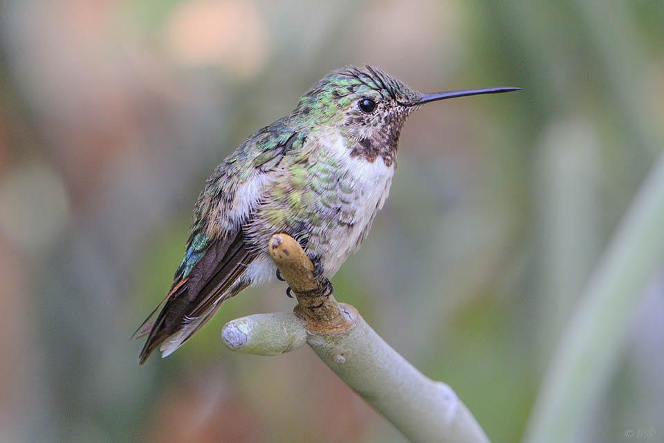 Cyrano de Bird