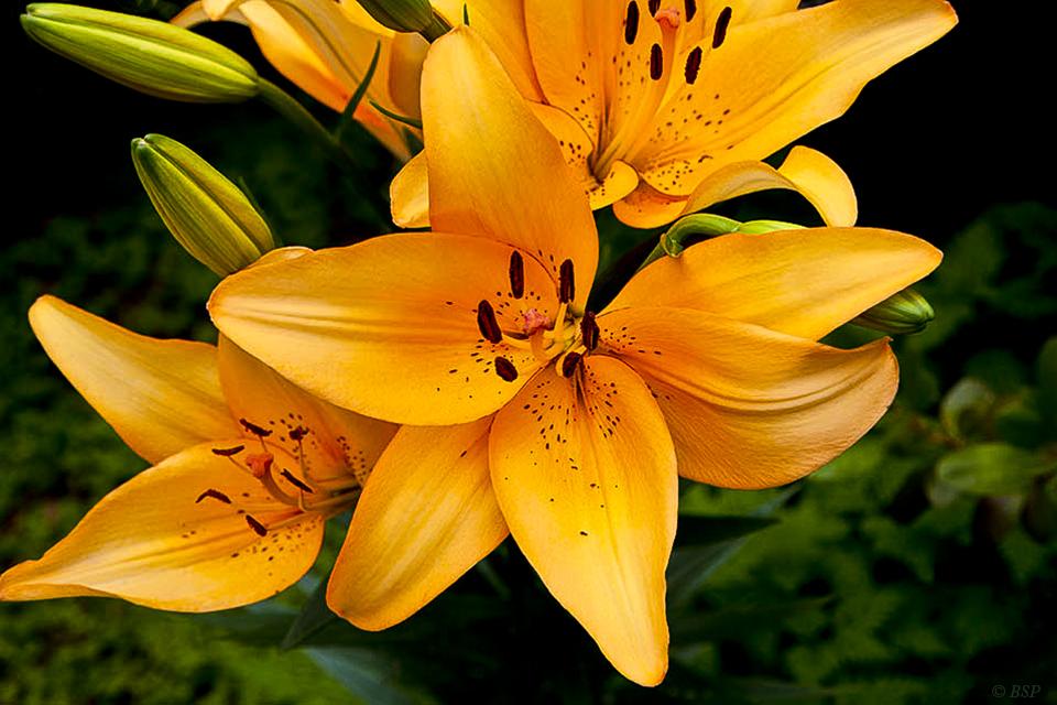 Lily I