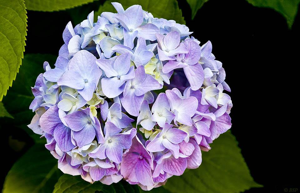 Lavender Sprung