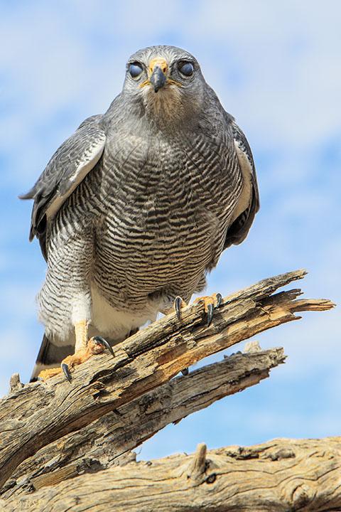 Hawk Eyes!